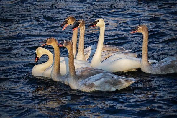 Swan family #1953