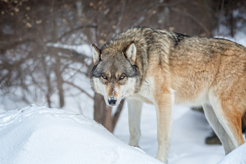 International Wolf Center, Ely Minnesota