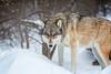 International Wolf Center, Ely Minnesota
