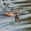 Mallard ducking