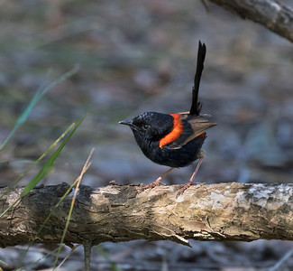 Red-backed Fairy-wren - 9424