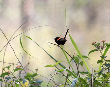 Red-backed Fairy-wren - 8427