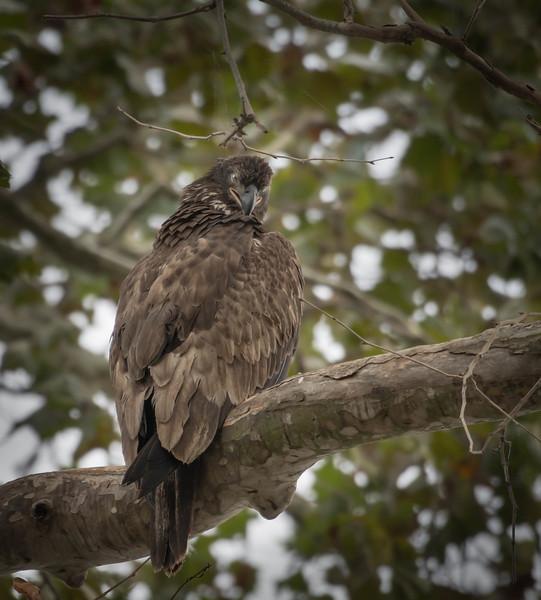 Junenile Bald Eagle