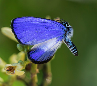 Small Green Banded Blue - 9197
