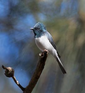Leaden Flycatcher,male - 7048
