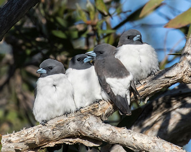 White-breasted Woodswallow - 6947