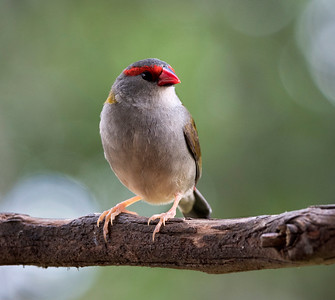 Red-browed Finch - 6213