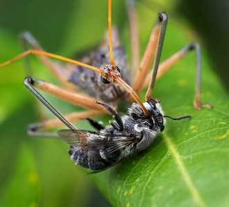 Assassin Bug with native bee - 5724