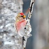 Common Redpoll #5