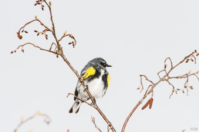 yellow-rumped warbler_7101