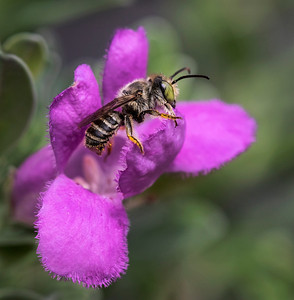 Leafcutter bee.male - 9704