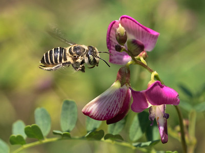 leafcutter bee - 6397