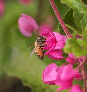 European Honeybee - 9835