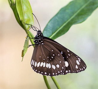 Common Crow butterfly with caterpillar - 4868