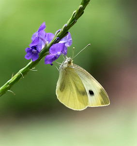 Cabbage White butterfly - 5783