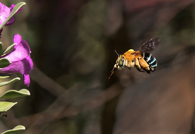 Blue-banded bee - 4924