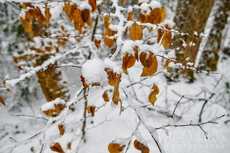 A Snowy Beech