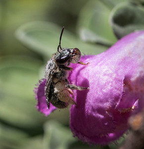 Native bee bubbling nectar - 0551