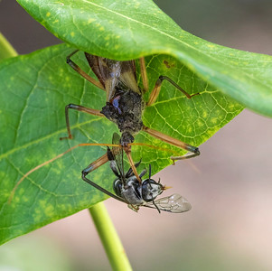 Assassin Bug with native  bee - 5585