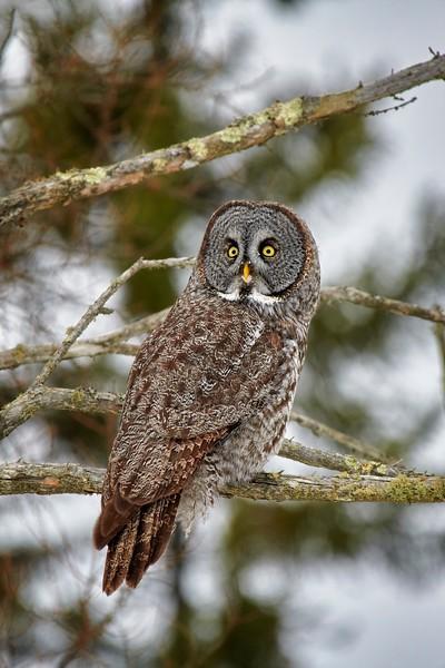 Great Grey Owl #4