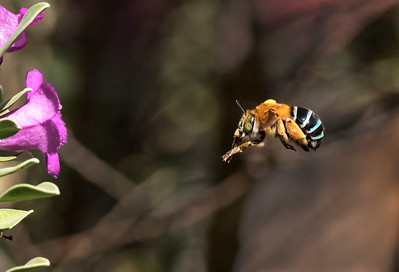 Blue-banded bee - 4923