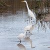 Great egret and Snow egrets