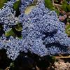 Wild lilac or Blue blossom