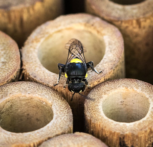 Masked bee,female - 9805