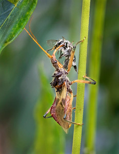 Assassin Bug with native bee - 5565