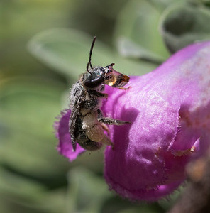 Native bee bubbling nectar - 0552