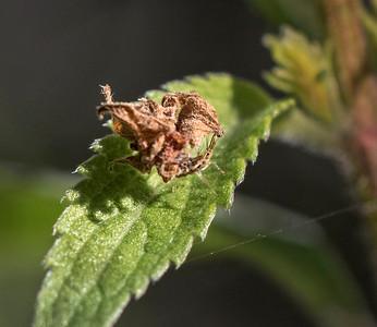 Lacewing larvae - 1495