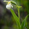Sparrow's-egg Lady's Slipper