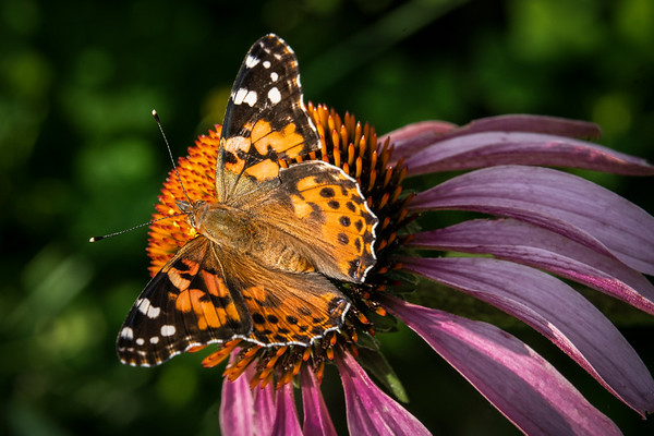 Painted Lady on Cone, #2007