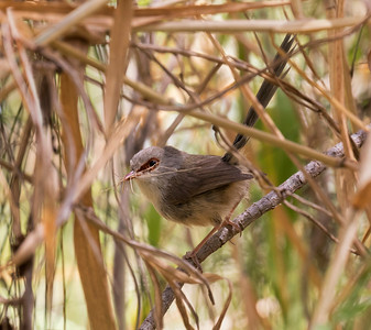 Variegated Fairy-wren - 9782