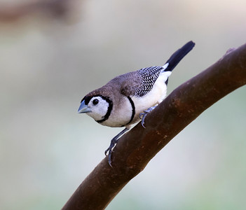 Double-barred finch - 8034