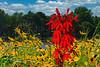 Cardinal Flower - #2010
