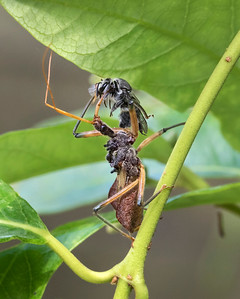Assassin Bug with native bee - 5574