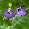Fiesta flower and white spider