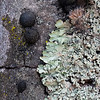 Black tar fungus and lichenss
