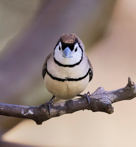 Double-barred Finch - 8044