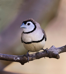 Double-barred Finch - 8046