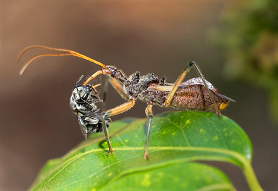 Assassin Bug with native bee - 5532