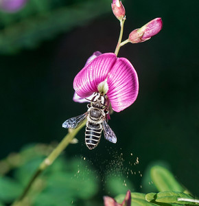 Leafcutter bee, pollen - 9253