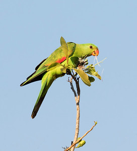 Red-winged Parrot,female - 5003