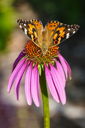 Painted Lady on Cone Flower, #2004