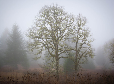 Foggy Oak