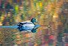 "<p style=""color:#00ffff;"">01/04/2014</p> The sun was out yesterday, I have better photos of the mallard but I really liked the reflections in the water on this one.  Thanks Rick!"