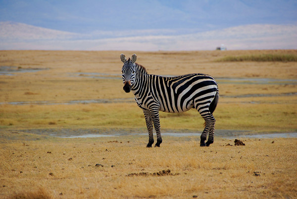 """<p style=""""color:#00ffff;"""">01/05/2014</p> Lone Zebra, Ngorongoro Crater, Tanzania.  I took this photo in Oct. 2006."""