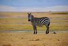 "<p style=""color:#00ffff;"">01/05/2014</p> Lone Zebra, Ngorongoro Crater, Tanzania.  I took this photo in Oct. 2006."