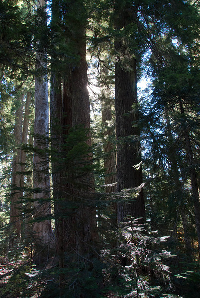 Old Growth with new above June Lake.
